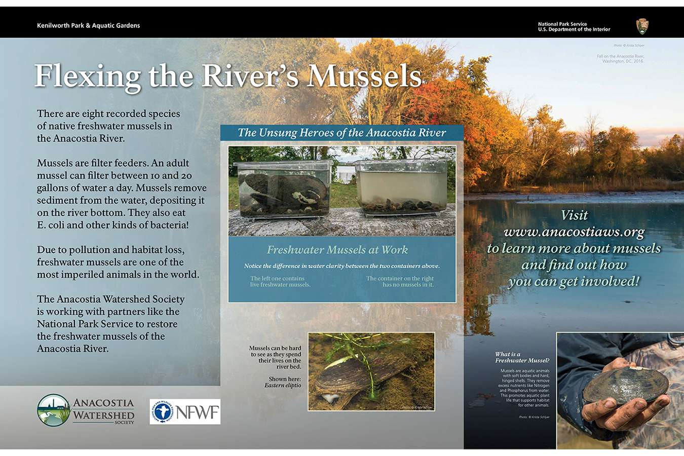 ANACOST WS 1 : Anacostia Watershed Society grows mussels in the Anacostia river to improve water quality